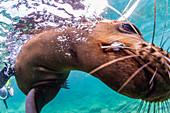 California sea lion (Zalophus californianus), with photographer at Los Islotes, Baja California Sur, Mexico, North America