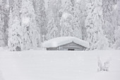 Snowflakes falling over wooden hut and trees in the Arctic forest covered with snow, Lapland, Finland, Europe