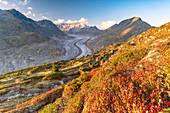 Flowering plants on mountain ridge above Aletsch Glacier, Hohfluh Riederalp, Valais Canton, Switzerland, Europe