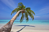 A tropical island beachside coconut palm, Gaafu Dhaalu atoll, in the far south of The Maldives, Indian Ocean, Asia