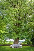 Old linden tree in the courtyard garden of Freising, Upper Bavaria, Bavaria, Germany
