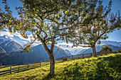 Orchard in the village center of Obermauern, Virgental, East Tyrol, Tyrol, Austria