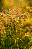 Wild flowers and wild grasses in the evening light, Bavaria, Germany, Europe