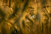 Daisies in the cornfield in the evening light, Bavaria, Germany, Europe