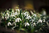 Snowdrops in the spring forest, Bavaria, Germany, Europe