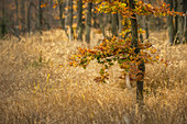 Small European beech in autumn on the Schachten, Zwiesel, Lower Bavaria, Bavaria, Germany, Europe