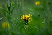 Dandelions in a spring meadow, Bavaria, Germany, Europe