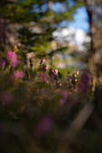 Blooming heather in a mountain forest near Mittenwald, Upper Bavaria, Bavaria, Germany