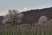 blooming cherry trees near Donnerskirchen, Burgenland, Austria