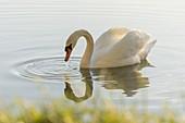 Swan, Schönauer Teiche, Lower Austria, Austria
