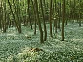 Wild garlic blossom in the WIenerwald, near Mayerling, Lower Austria, Austria