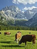 Cows on the Rontalalm, northern Karwendel range, Tyrol, Austria