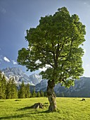 Maple trees, Rontalalm, northern Karwendel range, Tyrol, Austria