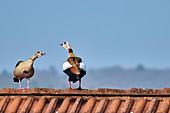 Nilgänse auf Hausdach, Bad Honnef, Nordrhein-Westfalen, Deutschland