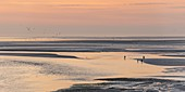 France, Somme, Baie de Somme, Le Crotoy, the panorama on the Baie de Somme at sunset while a group of young fishermen fish the gray shrimp with their big net (haveneau)