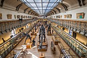 France, Paris, Jardin des Plantes, National Museum of Natural History, Galleries of Paleontology and Comparative Anatomy, fossilized skeletons of Diplodocus carnegii and Allosaurus fragilis