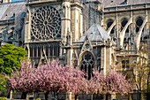 France, Paris, area listed as World Heritage by UNESCO, Ile de la Cite, Notre-Dame Cathedral and cherry blossoms in spring