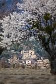 France, Alpes de Haute Provence, Saint Jurs, lavender field and almond tree in bloom