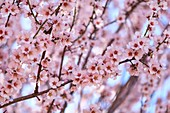 France, Alpes de Haute Provence, Verdon Regional Nature Park, Valensole Plateau, Valensole, almond trees in bloom