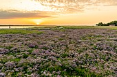 France, Somme, Somme Bay, Saint Valery sur Somme, Cape Hornu, Carpet of wild statetrics in the salted meadows at dawn, only a few hikers enjoy the coolest hours for walk