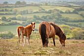 Mother and foal Dartmoor Ponies grazing on the moor, Dartmoor National Park, Devon, England, United Kingdom, Europe