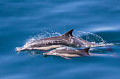 Long-beaked common dolphin (Delphinus capensis), mother and calf, Los Islotes, Baja California Sur, Mexico, North America