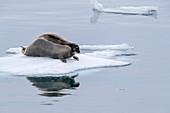 Adult bearded seal (Erignathus barbatus), on ice in Makinson Inlet, Ellesmere Island, Nunavut, Canada, North America
