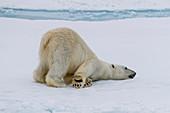 Adult polar bear (Ursus maritimus) cleaning its fur from a recent kill on ice near Ellesmere Island, Nunavut, Canada, North America