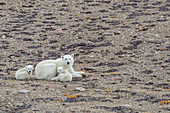 Polar bear mother with two cubs of the year (Ursus maritimus), Makinson Inlet, Ellesmere Island, Nunavut, Canada, North America