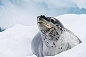 An adult leopard seal (Hydrurga leptonyx), hauled out on ice near Booth Island, Antarctica, Polar Regions