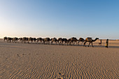 Salt caravan transporting salt through the desert, Oasis Fachi, Tenere desert, Niger, West Africa, Africa