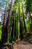 Beautiful giant redwoods, Big Sur, California, United States of America, North America