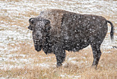 American bison (Bison bison), standing in snow storm, Grand Teton National Park, Wyoming, United States of America, North America