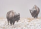 American bison (Bison Bison) in a driving snow storm, Badlands National Park, South Dakota, United States of America, North America
