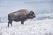 Frozen bison (Bison bison), sticking out tongue, Yellowstone National Park, UNESCO World Heritage Site, Wyoming, United States of America, North America