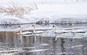 Four trumpeter swans (Cygnus buccinator), on the river with reflection, Yellowstone National Park, UNESCO World Heritage Site, Wyoming, United States of America, North America