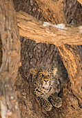 Young leopard (Panthera pardus), framed by branches, South Luangwa National Park, Zambia, Africa