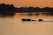 Silhouette of elephants (Loxodonta) crossing the river in the morning light, South Luangwa National Park, Zambia, Africa