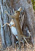 Leopard (Panthera pardus), taking impala (Aepyceros melampus) up into tree, South Luangwa National Park, Zambia, Africa