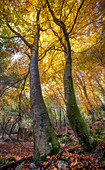 Autumn foliage picture of two towering trees and sunburst between the branches, Lessinia, Veneto, Italy, Europe