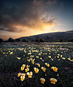 Sunrise over a yellow violet (Viola pubescens) field, Cusna Mountain, Appenines, Emilia Romagna, Italy, Europe
