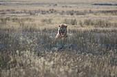 Male lion (Panethera leo) sitting in the savannah, Etosha National Park, Namibia, Africa