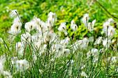 Cottongrass in Yakutia: ASIA, Russia, SACHA, YAKUTIA, Republic of Sakha (Yakutia), Lena River