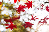 Red Acer leaves with motion blur, England, United Kingdom