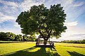 USA,Utah,Salem,Big tree with wooden tree house