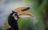 Malaysia,Head of Oriental Pied hornbill (Anthracoceros albirostris)
