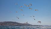 Greece,Cyclades Islands,Mykonos,Chora,Seagulls flying over sea