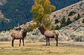 USA,Wyoming,Yellowstone National Park,Elk (Cervus elaphus) bulls in sparring duel for dominance in Yellowstone National Park