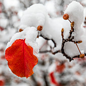 Close up of red autumn leaves on branch covered with snow