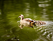 Young Egyptian goose family with three chicks on the Rhine, Bad Honnef, NRW, Germany